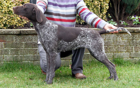 SH CH & NL CH KAVACANNE TOFF WE GO JW Sire: Sh Ch Bryburn the Toff JW ShCM Owner: Mr A Rose & Mr J G Gaffney Dam: Int Sh Ch & Ned Ch Isara Kurzhaar Chatline of Kavacanne JW ShCM Breeder: Mr & Mrs P Rose