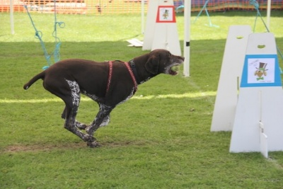 harry-pointer doing flyball 2