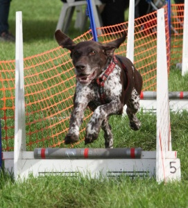 harry-pointer doing flyball
